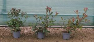 Image Production d arbustes photinia x fraseri en conteneur en Protection Biologique Int gr e.jpg