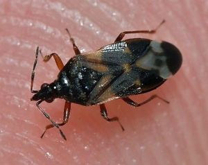 Image Anthocoris nemorum.jpg